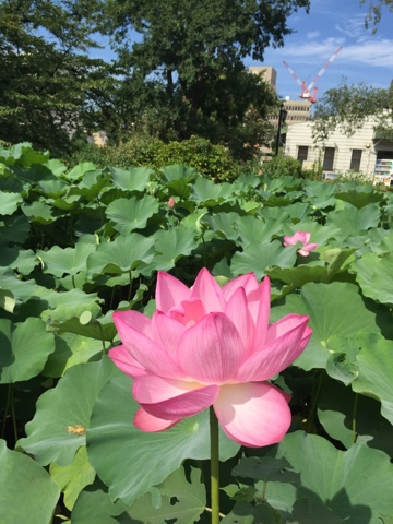 Lotus flowers in Shinobazu Pond, Ueno, Tokyo - These beautiful flowers bloom in Summer (Late July - August) and are a must see!