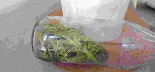 menanam anggrek