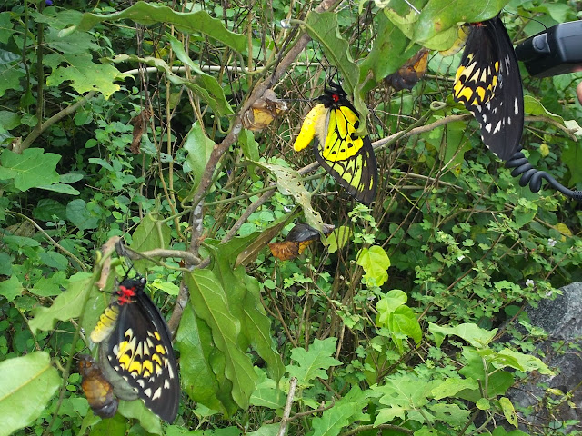 Émergence d'Ornithoptera croesus croesus WALLACE, 1859, mâle et femelles. Pulau Bacan (Moluques, Indonésie), 10 septembre 2013. Photo : Eko Harwanto