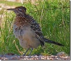 Road Runner at Palo Duro Canyon State Park