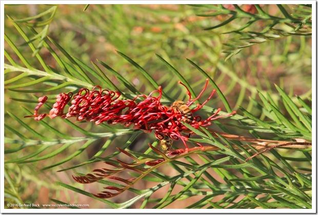 160813_UCSC_Arboretum_Grevillea-Red-Hooks_005