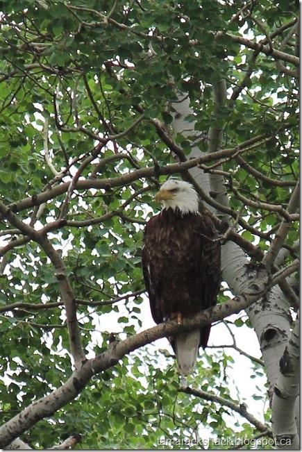 eagle11