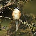 Shrike  -  Long-tailed Shrike