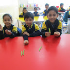 Shelling the peas activity and placing the pods on the rope (Sr.KG.) 24-2-2016