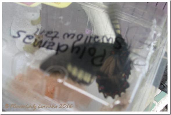 06-08-polydamas-swallowtail