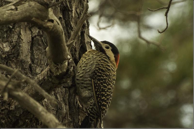 pájaro carpintero real_pca