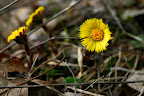 March 24: Coltsfoot