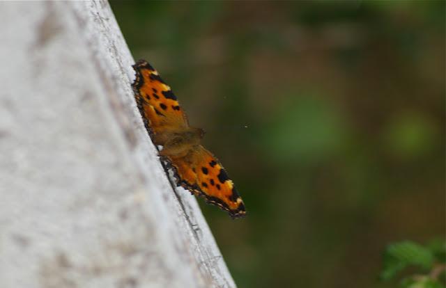 Nymphalis polychloros L., 1758. Les Hautes-Lisières (Rouvres, 28), 16 juin 2011. Photo : J.-M. Gayman