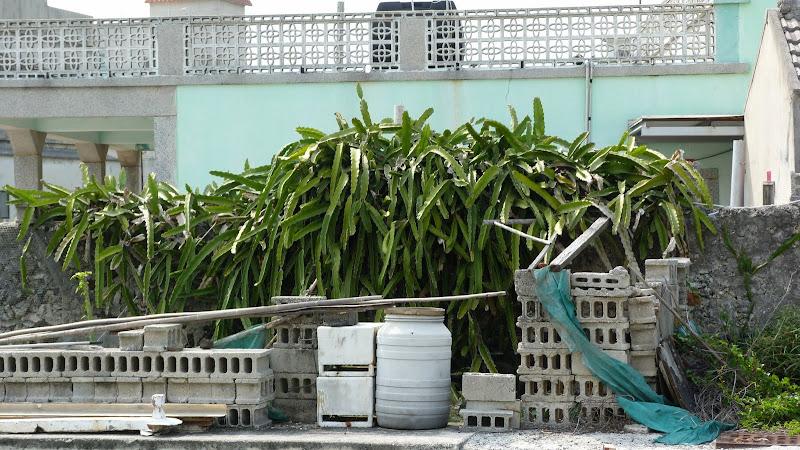 dragon fruit, arbre fruitier très défensif