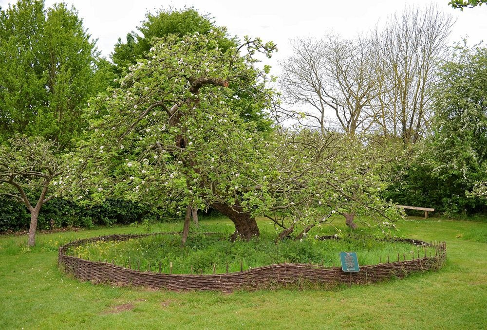 newtons-apple-tree-8