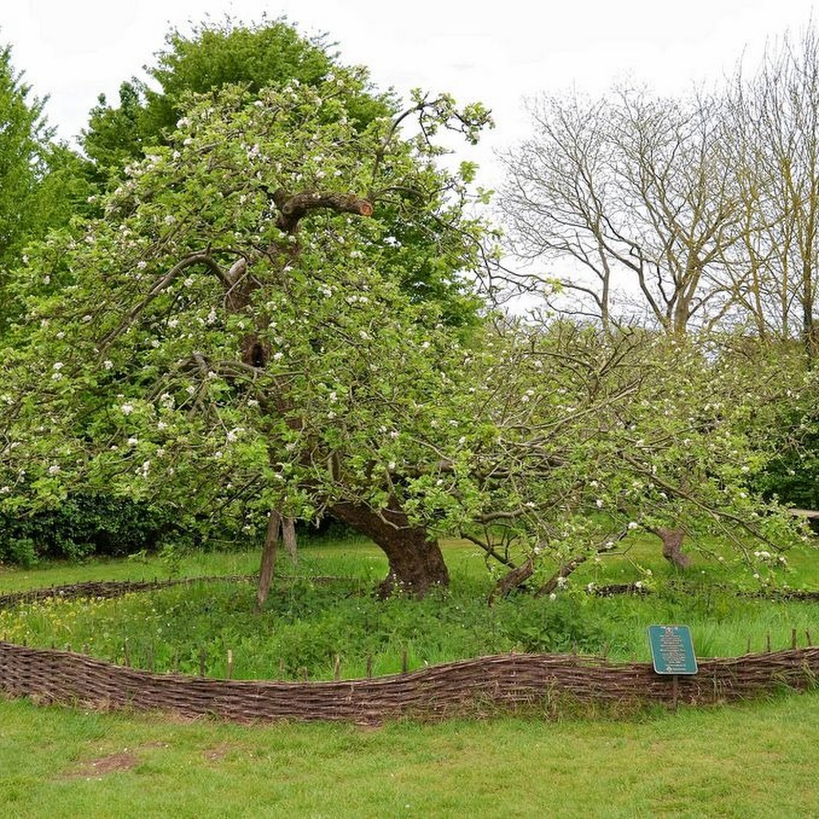 Newton's Apple Tree in Lincolnshire
