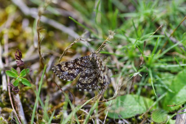 Ennominae : Ematurga atomaria (L., 1758), mâle. Vallée du Briançon (700 m), Cocurès (Lozère, France), 6 août 2014. Photo : J.-M. Gayman
