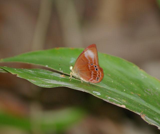 Abisara gesa litavicus FRUHSTORFER, 1912. Lot n°2, Sukau (Sabah, Bornéo), 6 août 2011. Photo : J.-M. Gayman