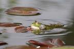 MALABAR?        ?C'est la saison des amours chez les grenouilles vertes !