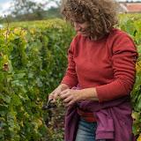 Petites vendanges 2017 du chardonnay gelé. guimbelot.com - 2017-09-30%2Bvendanges%2BGuimbelot%2Bchardonay-199.jpg