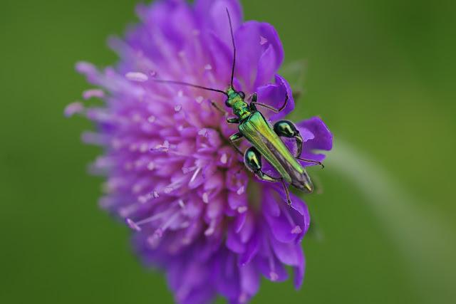 Oedemeridae : Oedemera nobilis (SCOPOLI, 1763), mâle. Hautes-Lisières (Rouvres, 28), 8 juillet 2012. Photo : J.-M. Gayman