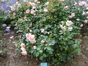 2017.08.10-042 la roseraie des vivaces