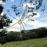 Nephila clavipes (LINNAEUS, 1767). Colider (Mato Grosso, Brésil), mai 2011. Photo : Cidinha Rissi