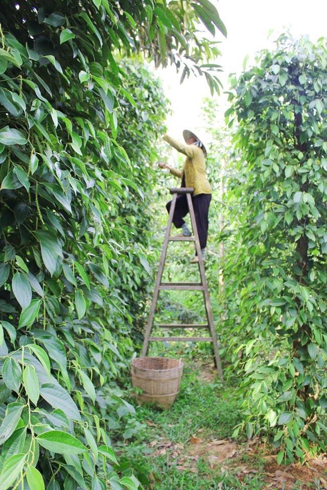 Tiêu trồng… trong chậu vẫn chi chít quả - 55dcf7d7b8559