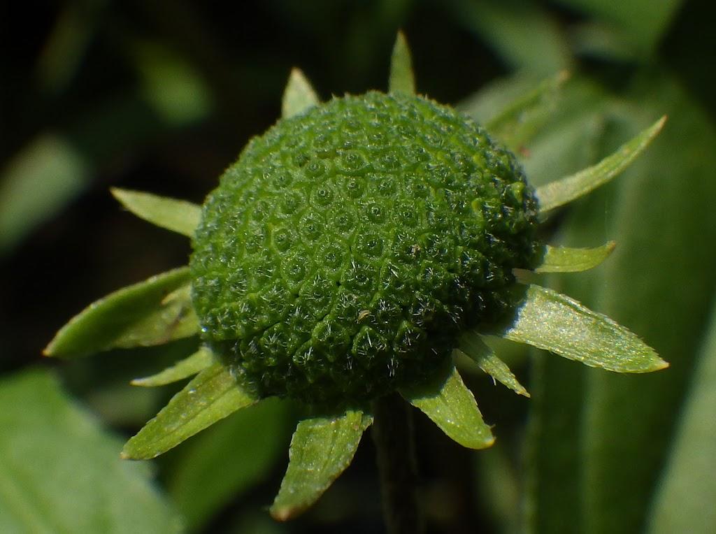 アメリカタカサブロウの若い果実