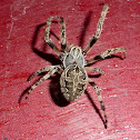Gray Cross Spider