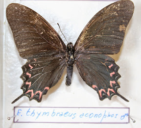 E. THYMBRAEUS ALONOPHOS.JPG