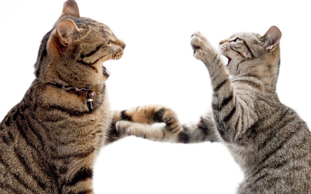 mèo đánh nhau