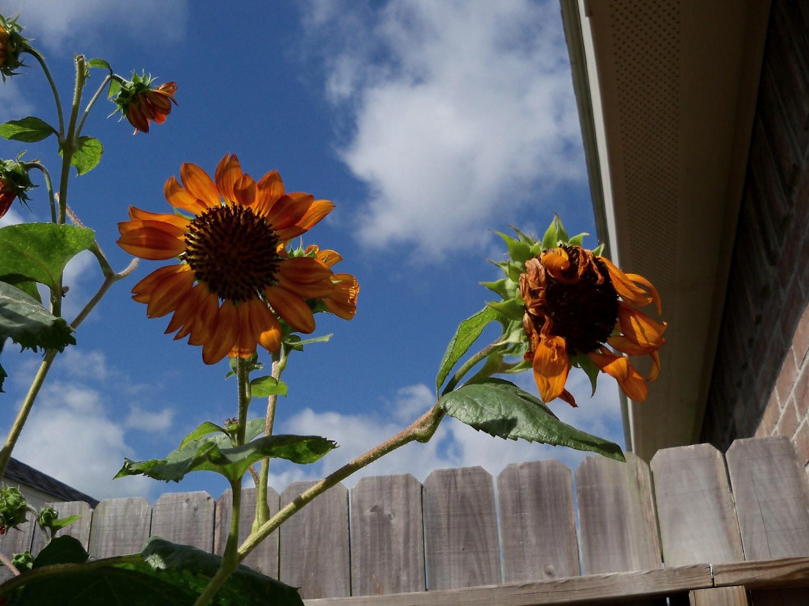 Gardening 2011 - 101_0007.JPG
