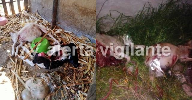 ¿El regreso del Chupacabras? Extraño animal mata a decenas de ovinos en Tlaxcala