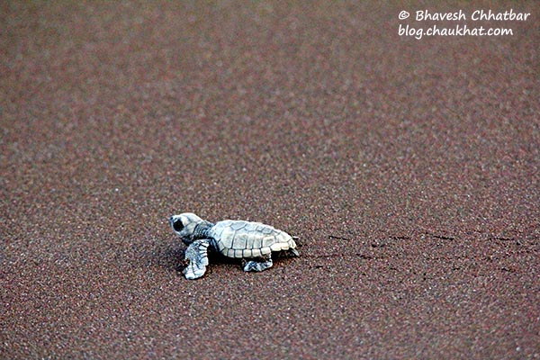 Tiny steps of the baby Olive Ridley sea turtle