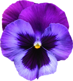 Large_Transparent_Purple_Violet_Flower_PNG_Clipart