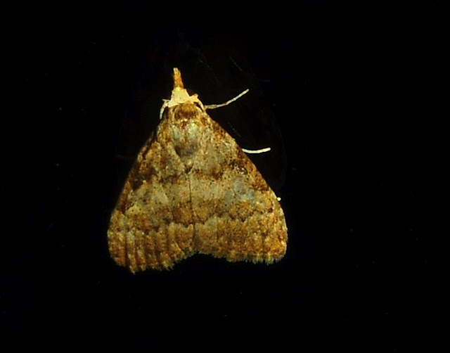 Peut-être : Geometridae : Larentiinae : Eupitheciini : Microdes villosata GUÉNÉE, 1857. Umina Beach (NSW, Australie), 5 juin 2011. Photo : Barbara Kedzierski