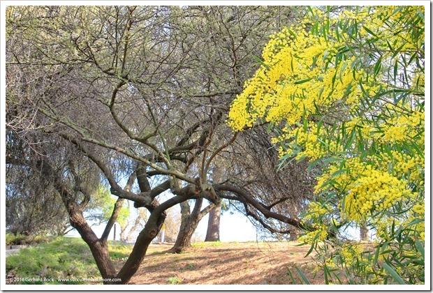 160215_UCDA_AcaciaGrove_Acacia-rubida_003