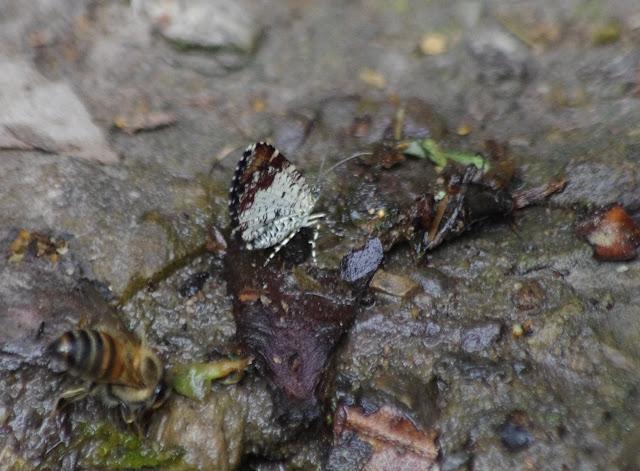 Geometridae, Larentiinae : Heterusia sp. Campamento Las Moyas, 1100 m (Boyacá, Colombie), 1er novembre 2015. Photo : J.-M. Gayman