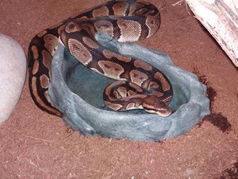 2017.08.07-027 python royal