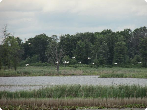 IMG_7691 American White Pelican Bird (2)