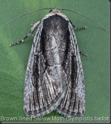 10059 Brown-lined Sallow Moth (Sympistis badistriga)