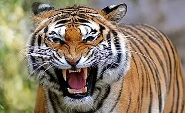 खेत में ताक लगाकर बैठे बाघ ने किसानों पर किया हमला, पति-पत्नी की मौत, चंपारण में बना दशहत का माहौल