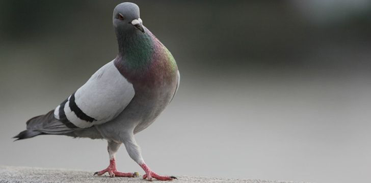 In England, pigeon poop is property of the Crown.