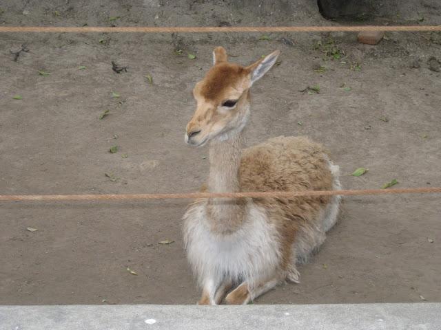 Small llama...?
