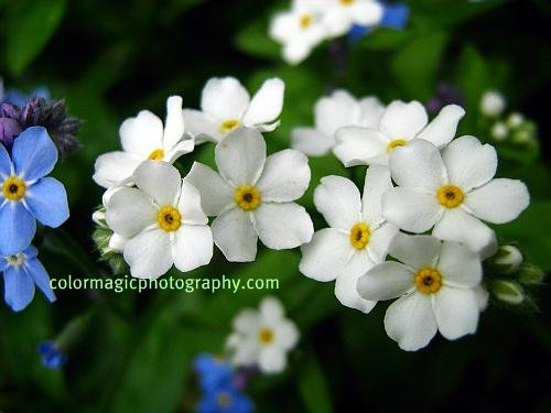 White Forget-me-not flowers-close-up