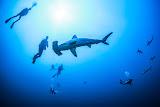 Hammerhead sharks, Daedalus reef (© 2015 Bernd Neeser)