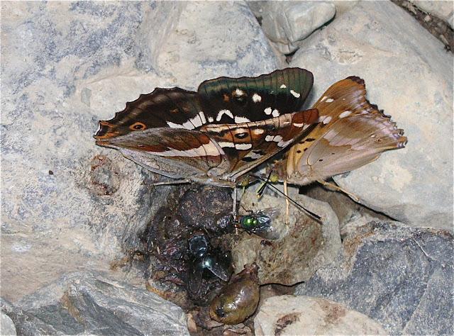 Apatura Iris amurensis STICHEL, 1909. 6 km au sud d'Anisimovka, 19 juillet 2010. Photo : J. Michel