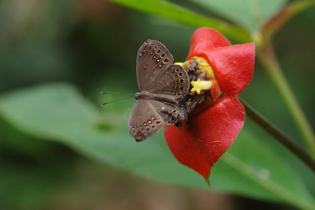 Eurybia halimede halimede (Hübner, [1807]). Bosque Bavaria (Villavicencio, Meta, Colombie), 9 novembre 2015. Photo : J.-M. Gayman