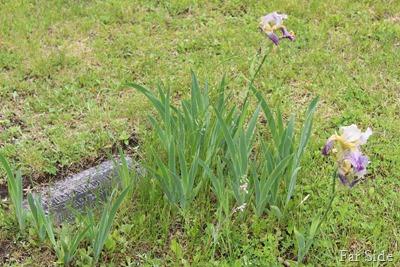 Iris bloomin on Einards grave