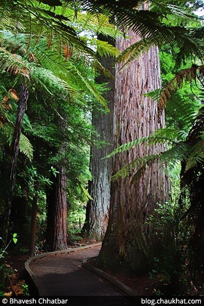 The Redwoods – Whakarewarewa Forest, Rotorua, New Zealand