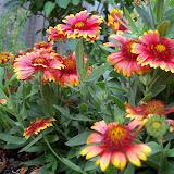 Gardening 2011 - 100_8856.JPG