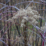Blackberry-canes-and-goldenrodMG_2748-copy.jpg