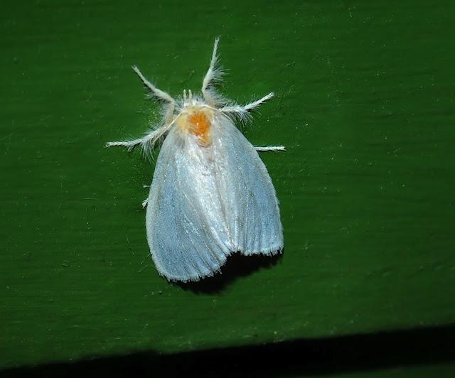 Lymantriidae : Acyphas sp. Umina Beach (N. S. W., Australie), 21 janvier 2012. Photo : Barbara Kedzierski
