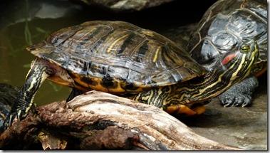Letargo tartarughe - 3